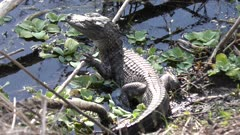 young alligator sunning in Florida swamp