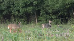 Deer and turkey in farmland