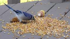 blue jay swallows dry sweet corn