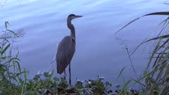 great blue heron near lake in Florida