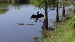 anhinga and alligator in Florida wetlands