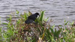 Boat-tailed Grackle feeds on bugs near Florida lake