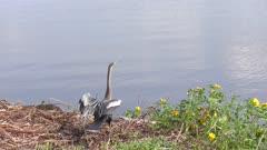 Anhinga bird near lake in Florida wetlands