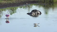 Large American alligator and birds in Florida wetland.