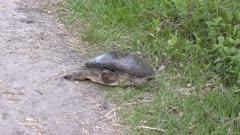 Female Florida Softshell Turtle Laying Eggs. Florida wildlife.