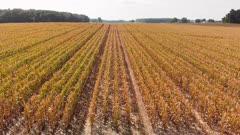 Corn field in late summer. Aerial farming landscape.
