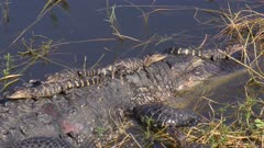 Mother Alligator with Babies on her back and head. Florida wildlife.