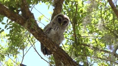 Young barred owl looking around in Florida woods.