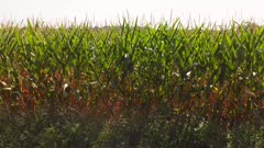 Sweet corn field in late summer at sunset. Low drone flight.