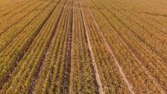 Corn field in late summer. Aerial farming landscape. Low drone flight.
