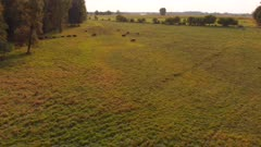Herd of brown cows on the field .Summer country landscape. Aerial view.