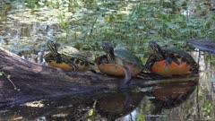 Turtles sunning in Florida swamp