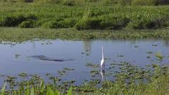 Large gators and egret in Florida wetland.