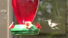 Ruby Throated Hummingbird feeds on nectar
