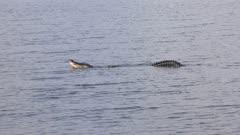 Large alligator mating call in Florida lake