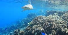Blacktip reef shark patrolling a beautiful coral reef in 4K Fakarava
