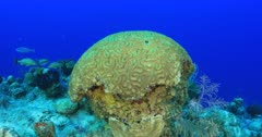 Brain Coral (Lobophyllia sp) and tropical fish on a reef 4K