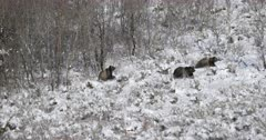 grizzly bear and cubs charge through snow covered hillside