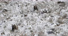 grizzly bear and cubs charge down a snow covered hillside