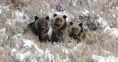 grizzly sow and cubs sitting on a carcass in the fresh snow