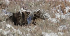 grizzly sow and cubs sitting and smelling on a carcass in the fresh snow