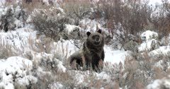 grizzly cub strolls through the sagebrush looking for gut piles