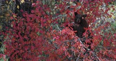 black bear cub eating hawthorne berries in the fall