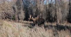 bull moose in the cottonwoods