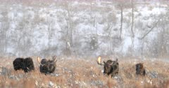 2 pair of bull and cow moose in the snow