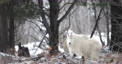 mating pair of rocky mountain goats in winter coats