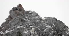 massive rocky mountain goat overlooks the Snake River
