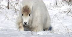rocky mountain goat kid/yearling running in the snow