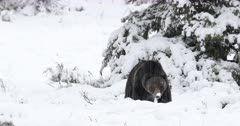 Male grizzly dances through fresh snow