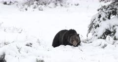 Male grizzly dances through fresh snow