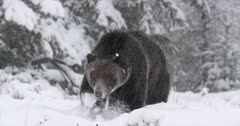 grizzly bear dances toward the camera in the fresh snow