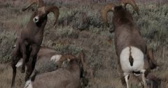 bighorn sheep rams but heads