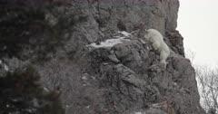 rocky mountain goat climbs sheer cllif face
