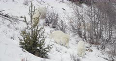 rocky mountain goats climb up snow covered mountain