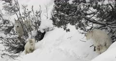 rocky mountain goat family forages on snow covered mountain