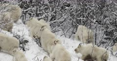 rocky mountain goat herd runs up snow covered mountain