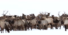 herd of elk congregates on a snow covered mountain