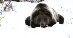grizzly bear resting in the fresh snow