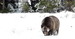 slow motion shot of a grizzly bear walking in a blizzard/snow storm