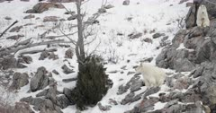 two rocky mountain goats perch on a snow covered mountain