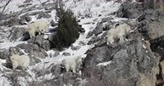 four rocky mountain goats perch on a snow covered mountain