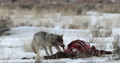wolf pack feeds on elk carcass in the snow