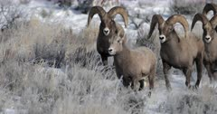 four massive bighorn sheep rams chase a ewe during the winter rut