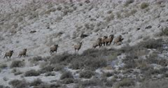 seven massive bighorn sheep rams chase a ewe during the winter rut