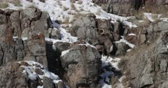 massive bighorn sheep ram mates with a ewe during the winter rut