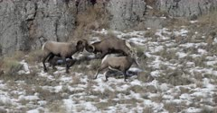 two massive bighorn sheep rams butt heads during the winter rut